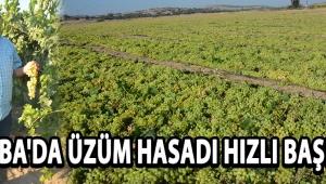 Sazoba'da Üzüm Hasadı Hızlı Başladı !