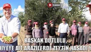 Başkan Dutlulu, Belediyeye Ait Arazilerde Zeytin Hasadı Yaptı !