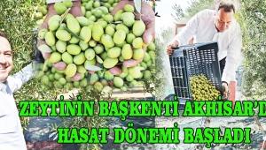 Zeytinin başkenti Akhisar'da, hasat dönemi başladı!
