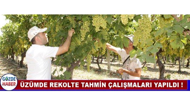 ÜZÜMDE REKOLTE TAHMİN ÇALIŞMALARI YAPILDI !